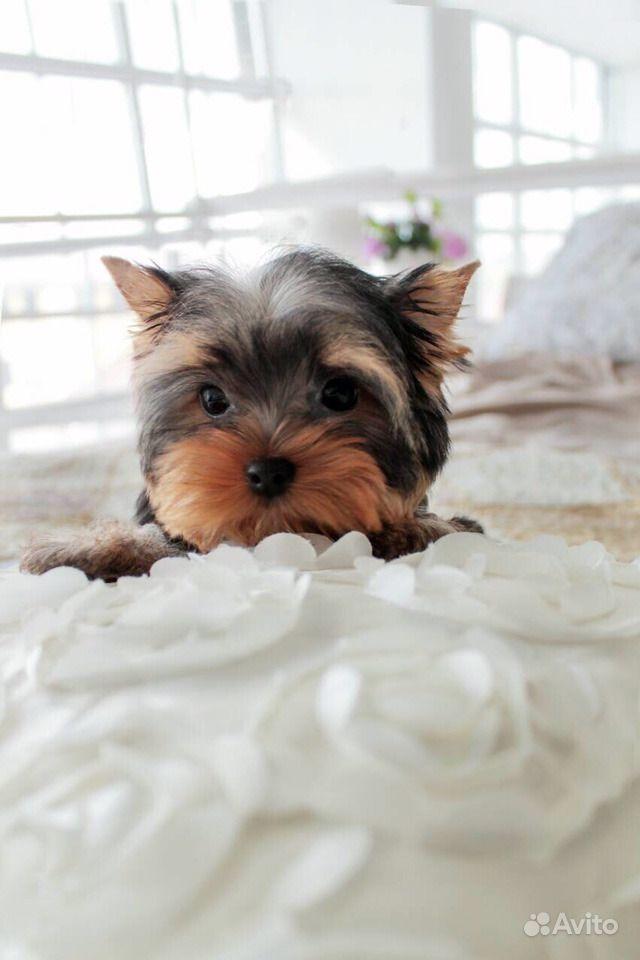 Йоркширский терьер -очень красивые щенки в Иваново - фотография № 9