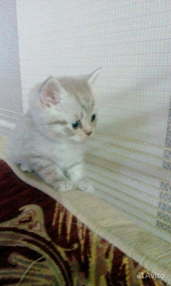 Британские котята в Саратове - фотография № 8