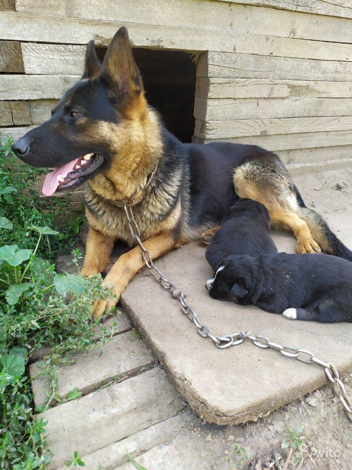 Кутята от немецкой овчарки. мальчик и девочка