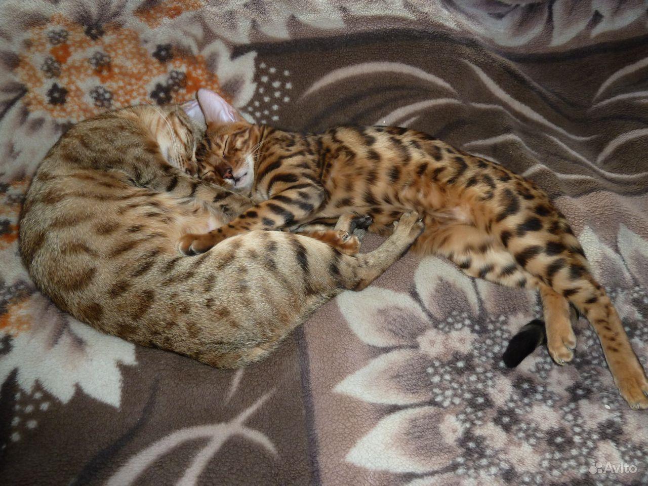 Бенгальские котята - фотография № 6