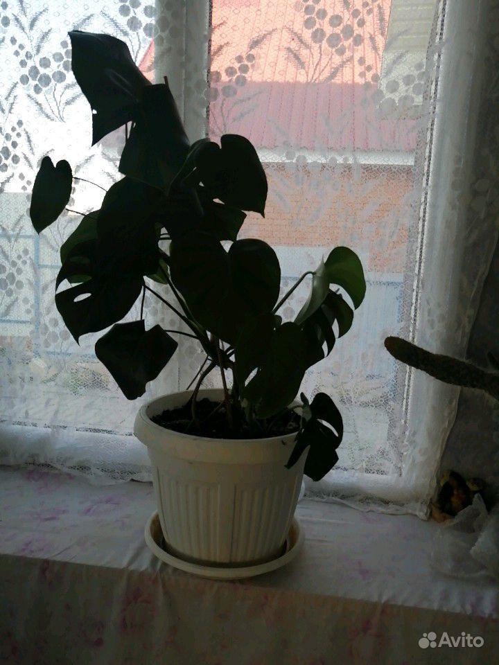 Цветы комнатные купить на Зозу.ру - фотография № 3
