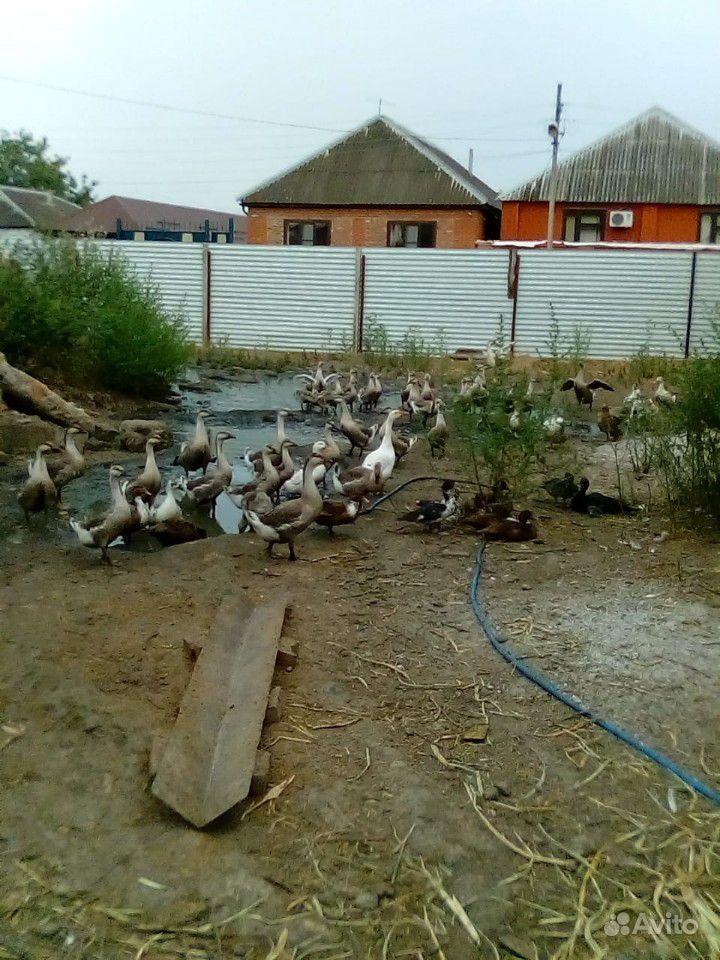 Утки, гуси купить на Зозу.ру - фотография № 2