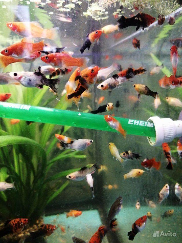 Меченосцы и молинезии аквариумные рыбки купить на Зозу.ру - фотография № 6