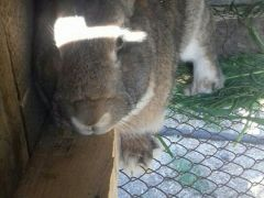 Кролик самец 7 месяцев