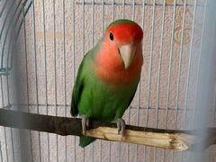 Продается попугай неразлучник