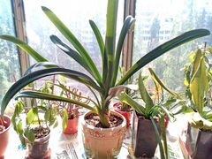 Комнатные растения (Кливия)