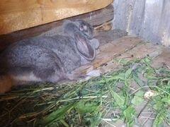 Крольчиха Баран
