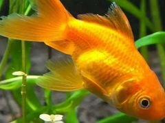 Золотые рыбки в аквариум или домашний пруд