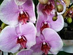 Орхидея фаленопсис Прети романс