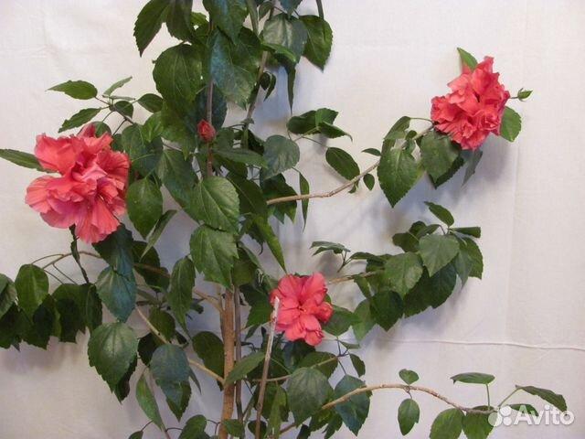 Цветы роза китайская фото
