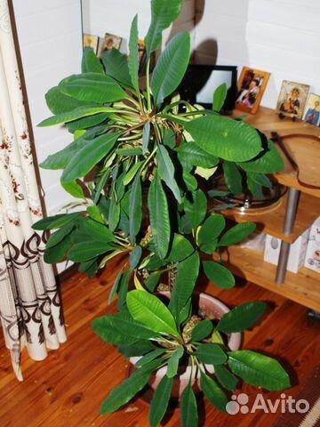 Комнатные цветы купить москва авито заказ цветов online с доставкой moscowwood