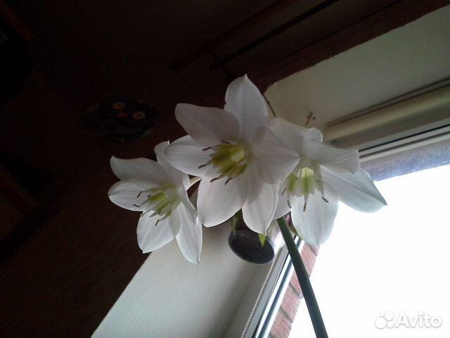 Цветы комнатные  эухарис