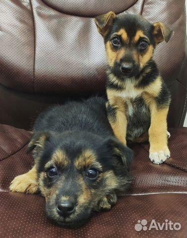 89137249811 Два щенка ждут хозяев
