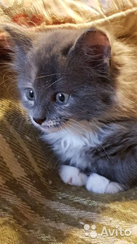 Котенок девочка Мурка трехцветка 2мес
