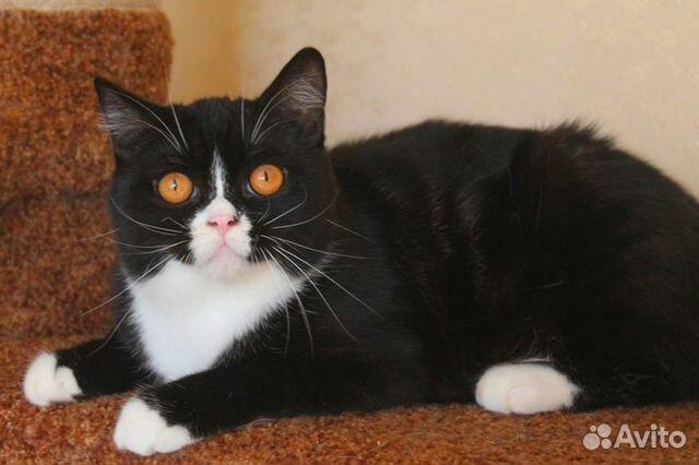 Найден котенок, черно-белый биколор смокинг купить 5