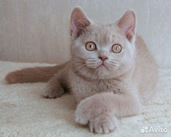 кошка британская фавн москва фото изделиях ручной работы