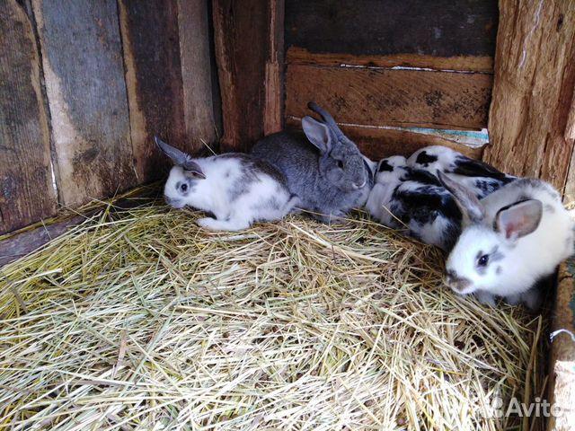 Кролик  89286029239 купить 3