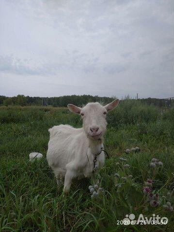 Коза,козленок  купить 2