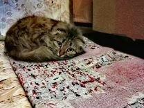 Веслаухая-сибирская длинношорстная, кошка