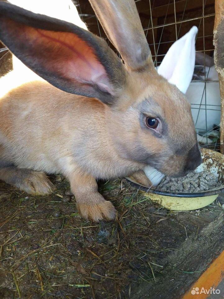 Кролик  89043585223 купить 3