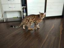 Вязка Бенгальский кот
