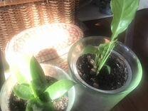 Цветы 2 горшка Щучий хвост и