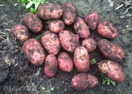 Деревенский картофель и свекла