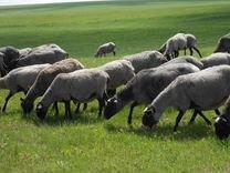 Продаются овцы и бараны романовской породы