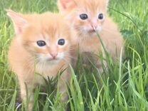 Отдам котят(девочка,мальчик) Рыжие