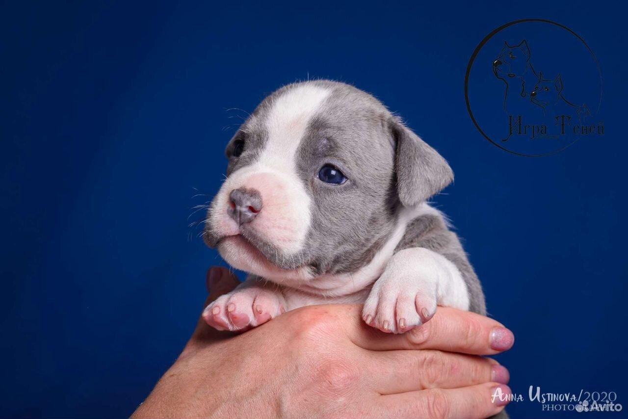 Puppies amstaff  89209620961 buy 1