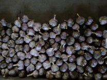 Посадочный материал лука и чеснока