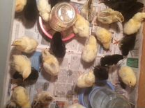 Цыплята Кур несушек