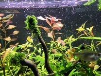 Людвигия рубин, аквариумные растения