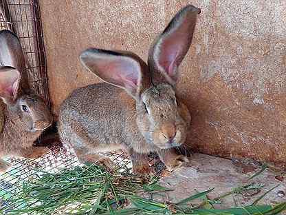 Кролики фландер и помесные