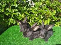 Кролики породы Серебристый(Полтавское серебро)