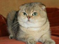 Вислоухий золотой котик на вязку