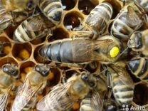 Пчеломатки, пчелопакеты, пчелосемьи