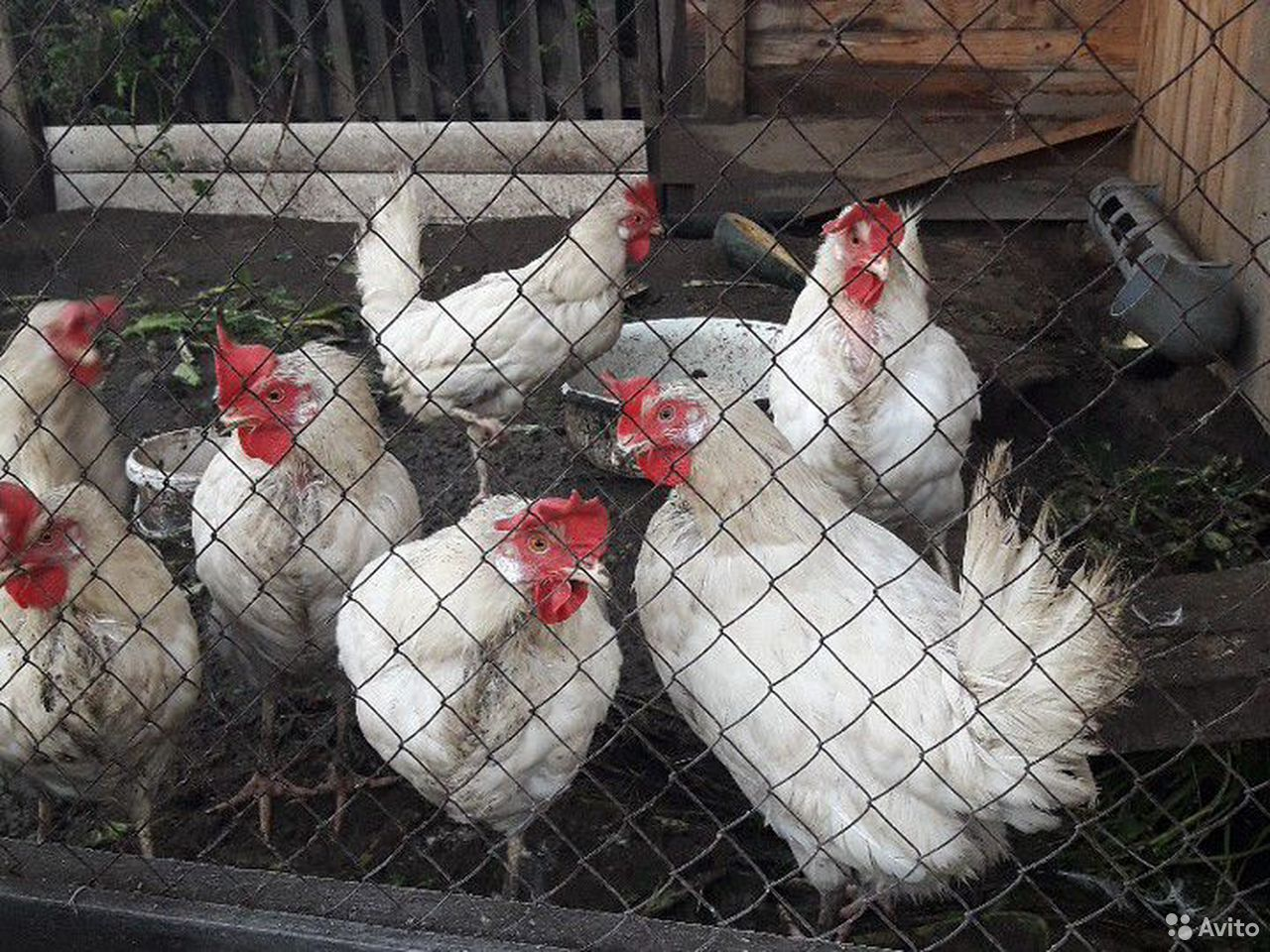 Laying hens  89509919099 buy 1