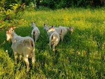 Дойная коза Зааненская порода беременная
