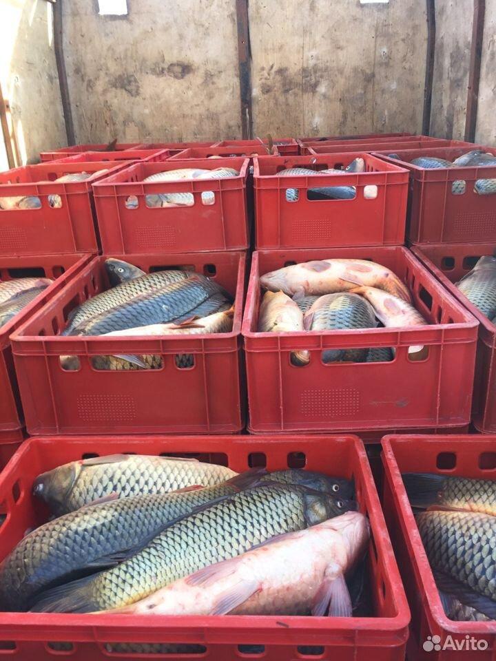 Рыба, Морской сазан  89398888010 купить 4