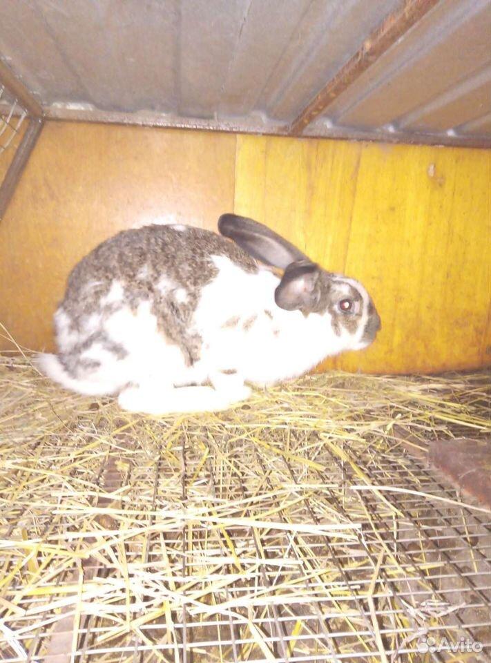 Кролики  89609924757 купить 2